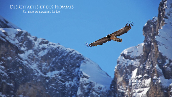 Bearded Vultures of the Alps